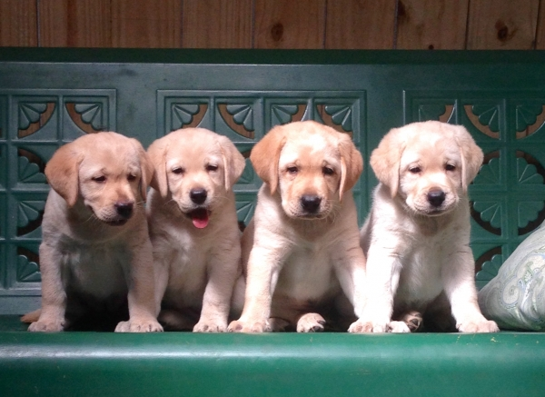 orlando labrador retriever puppies
